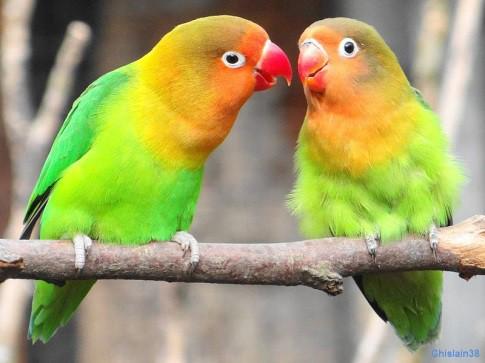 Bonheur de deux oiseaux amoureux